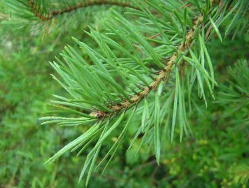 terpentin rastlinskega izvora